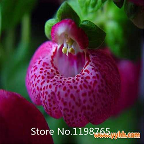 Promotion 100 pcs  bag Calceolaria seeds DIY potted plants indoor  outdoor pot flower seeds germination rate of 95 mixed c