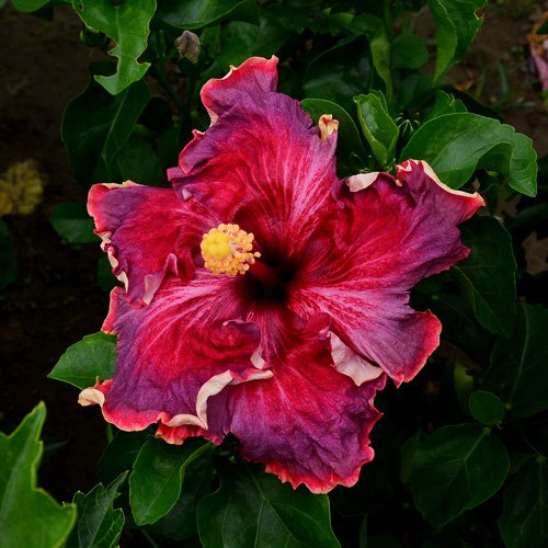 10 Dinnerplate Hibiscus Berrylicious Perennial Flower Seed Easy To Grow Huge 10-12 Inch Flowers