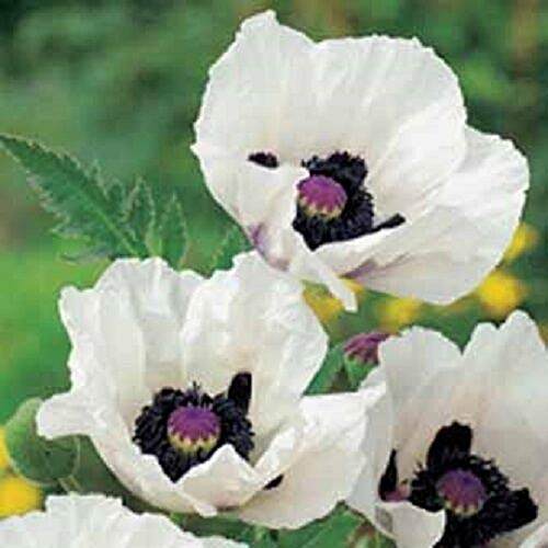 White 35 Seeds Papaver 36 inches Tall and Perennial SITY