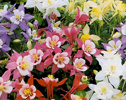 Columbine Seeds - Giant Mix - Origami - Variety - Shade Perennial - 50 Seeds